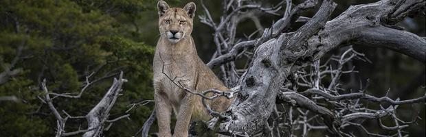 CONAF denuncia hallazgo de puma muerto en límites del Parque Nacional Torres del Paine