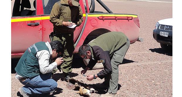 CONAF y SAG descubren vicuñas muertas en patrullaje de rutina.