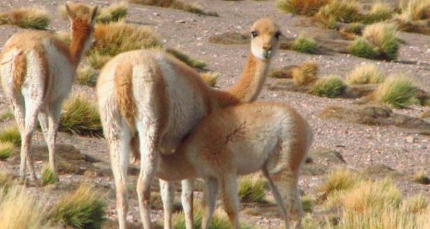 CONAF realizará censo de camélidos en áreas silvestres protegidas de región de Antofagasta.