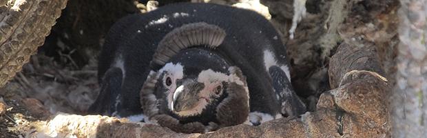 Proyecto en isla Choros protege al pingüino de Humboldt y beneficia economía local