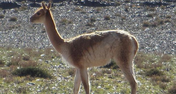 Nuevo hallazgo de vicuñas muertas y desolladas en Reserva Nacional Los Flamencos.