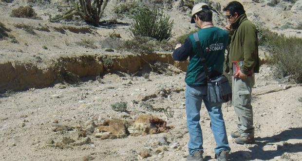 Fiscalización conjunta con la PDI busca indicios de cacería de guanacos.