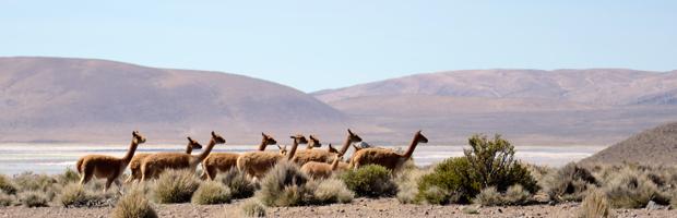 Funcionarios de CONAF se capacitan en protección de la vicuña