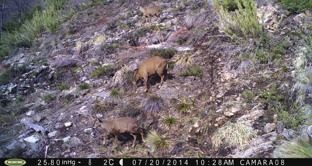 CONAF dio a conocer nuevas imágenes de huemules en la Reserva Nacional Ñuble