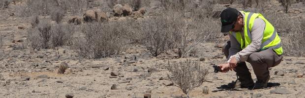 Fiscalizan traslado de cactus en obras de doble vía entre Caldera y Chañaral