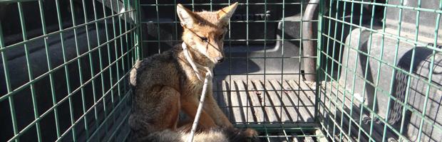 Guardaparques rescatan zorro culpeo con desnutrición en Parque La Campana