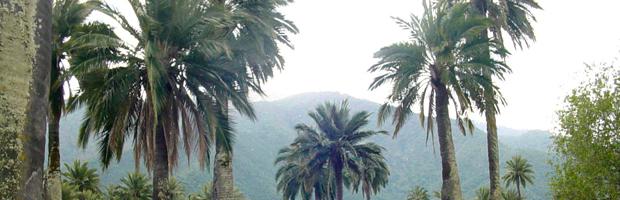 Proponen cultivo de palma chilena, dada su resistencia a sequía y aporte a economía rural