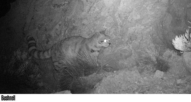 Las cámaras trampa en este caso se ubicaron tanto en la Reserva Nacional Las Vicuñas y en el Parque Nacional Lauca, pero sólo en Las Vicuñas hubo resultados positivos.