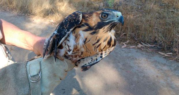 El ave ya se recuperó y fue liberado en la misma Reserva Nacional Lago Peñuelas.