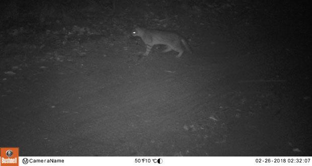 De escurridizo deambular y costumbres nocturnas, el gato Colocolo (Leopardus colocolo) no es un animal fácil de avistar ni menos de fotografiar.