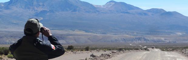 Con más puntos de monitoreo, CONAF casi duplicó conteo del ñandú del norte