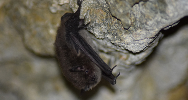 Myotis chiloensis  murciélago oreja de ratón