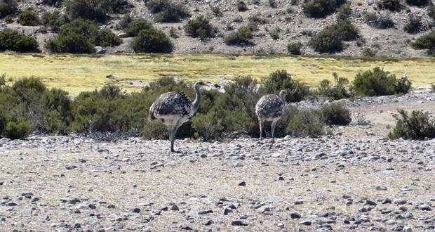 Desde que CONAF impulsó un mayor trabajo con el suri, la protección de los nidos fue un punto de relevancia a considerar en los patrullajes de los guardaparques.
