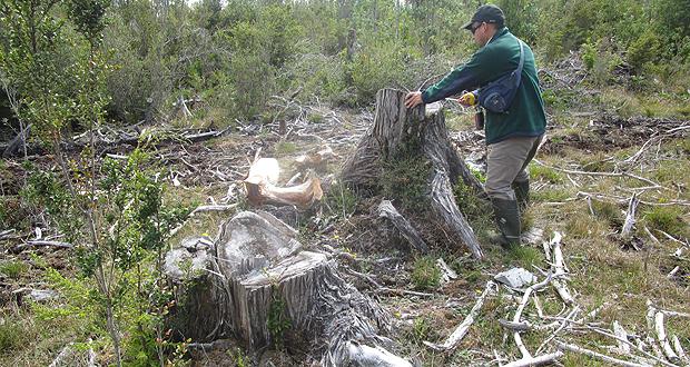 La corta de árboles se registró sobre un área aproximada a las 32 hectáreas y se estima que fueron destinados a aserrío y leña.