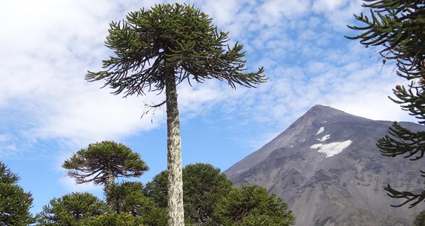 La Mesa de Protección del Piñón de Curarrehue se creó para disminuir la extracción indiscriminada del fruto de la Araucaria araucana.