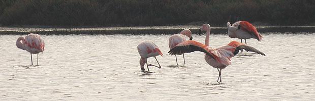Reserva El Yali celebra 23 años con masivo arribo de cisnes y flamencos