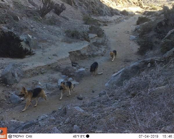 Perros captados con cámaras trampa en el Parque Nacional Llanos de Challe.