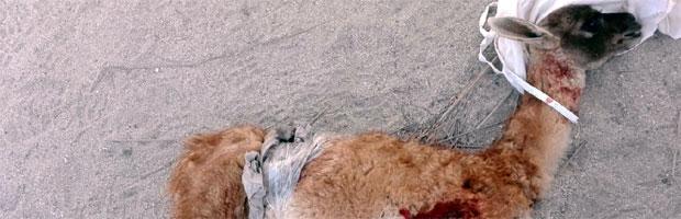 Nuevo guanaco muerto por ataque de perros en parque nacional