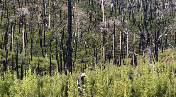 El trabajo se efectuó en la Reserva Nacional Malleco y el Parque Nacional Tolhuaca, que forman parte del Sistema Nacional de Áreas Silvestres Protegidas del país que administra CONAF.
