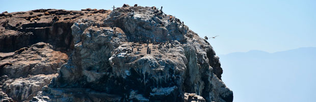 CONAF presenta informe sobre estudio del Pingüino de Humboldt