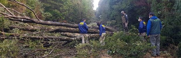 """CONAF por tala de árboles en Parque Alerce Costero: """"Se buscarán los responsables por este daño realizado en un patrimonio de todos"""""""