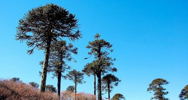 La Reserva de la Biósfera Araucarias la conforman los parques nacionales Villarrica, Conguillío, Tolhuaca y Huerquehue, junto a las reservas nacionales Alto Biobío, Nalcas, Malalcahuello y Villarrica.