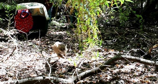 La güiña (Leopardus guigna) es una especie nativa de Chile, catalogada en peligro de extinción en la Ley de Caza.