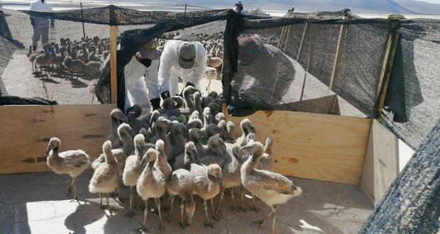 Los polluelos anillados fueron 225, en tanto las mediciones morfológicas se hicieron a 120 de ellos.